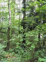 Stockwerke im Mischwald - Laubbaum, Nadelbaum, Mischwald, Stockwerke, Krautschicht, Strauchschicht, Baumschicht