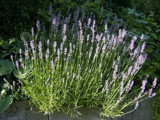 Lavendel - Lavendel, Lippenblütler, Parfümherstellung, antiseptisch