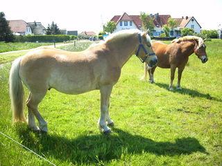 2  Haflinger - Pferde, zwei, Haflinger, Huftier, Weide, Koppel, ausruhen, Herdentier, Sonne