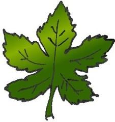 Ahornblatt - Natur, Baum, Ahorn, Blatt, Blätter, Pflanze, Pflanzenteil, Herbst, Anlaut B