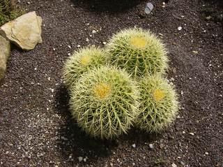 Goldkugelkaktus - Goldkugelkaktus, Schwiegermutterstuhl, Schwiegermuttersitz, Kaktus, Kakteen, stachlig, Stachel, bedrohte Art, vier