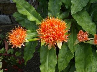 Blutblume - Blutblume, Amaryllisgewächse, Blüte, orange