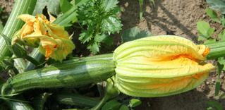 Zucchini - Blüte und Fruchtstand - Zucchini, Gartenpflanze, Pflanze, Kürbisgewächs, Kürbis, Gemüsekürbis, Gurkenkürbis, Gartenkürbis, Zucchiniblüte