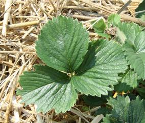 Erdbeerblatt - Erdbeere, Erdbeerblatt, Sammelnussfrucht, fragaria ananassa, langstielig, Laubblatt, dreiteilig