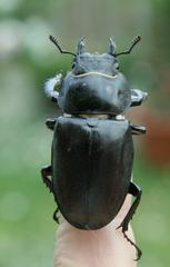 Hirschkäfer - Weibchen - Hirschkäfer, Hornschröter, Feuerschröter, Donnergugi, Lucanus cervus, Schröter