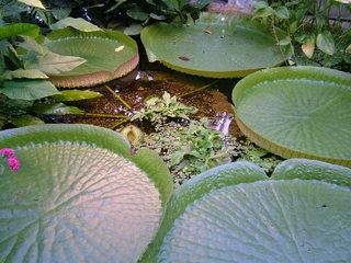 Riesenseerosenblätter - Riesenseerosenblatt, Seerosen, Knospen, Blätter
