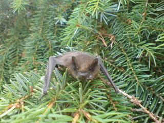 Fledermaus - Fledermaus, Fledertier, Säugetier, Ultraschall, Akustik, Echo, Echoortung