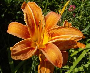 Lilienblüte - Lilie, Lilienblüte, Garten, Blüte, Pflanze, Blütenstempel, orange, welken, verwelken