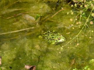 Wasserfrosch - Wasserfrosch, Teich, Wasser, Tiere, Amphibie, grün, Tarnung, tarnen