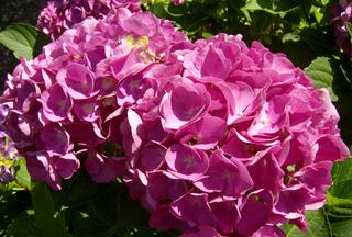 Hortensie - Hortensie, Gartenhortensie, Hortensiengewächs, Blüte, Blütenblätter
