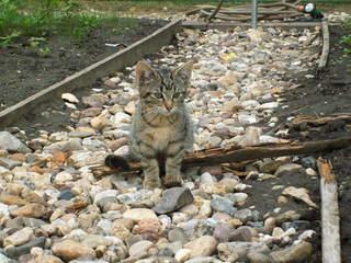 Kätzchen - Haustier, Jungtier, Tierkind, Katze, grau, getigert, Fell, Kätzchen, sitzend, warten, lauern, bebachten