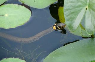 schwimmende Ringelnatter - Ringelnatter, Schlange, Teich, Reptil, Kriechtier, schwimmen