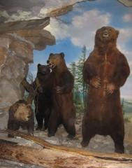 Höhlenbären - Bär, Säugetier, Wildtier, Höhle, braun, Fell, drohen, brüllen