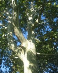 Baumkrone - Baumkrone, Baum, Natur, Wald, Blätter, Laubbaum