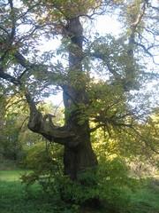 Alter Baum - Baum, Pflanze, Wald, Natur, Mythos, Märchen, Zauber, Schreibanlass, Lichtspiel, hell, dunkel