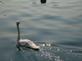 Schwan - Schwan, Wasservogel, Reflexion, See, Gewässer