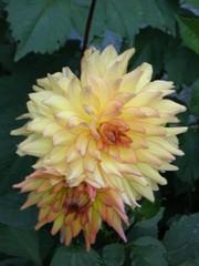 Dahlie - Pflanze, Dahlie, Herbst, beige, gelb, Korbblütler, Zierpflanze, Knollengewächs, Knolle