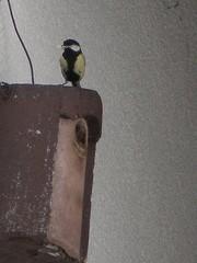 Meise  - Meise, Vogelnistkasten, Sperlingsvogel, Singvogel