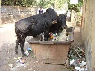 ungewöhnliche Straßenszene in einer indischen Großstadt - Indien, Tiere, Rind, Heilige Kuh, Müll