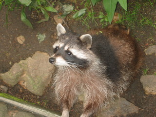 Waschbär - Natur, Tier, Waschbär, Bär, waschen, Wildtier