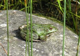 Wasserfrosch - Amphibien, Frösche, Wasserfrosch, Biotop, Gartenteich