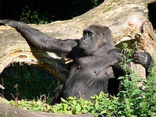 Gorilla genießt die Sonne - Gorilla, Affe, Primat, Menschenaffe, Pflanzenfresser, genießen, Zoo, Tiergarten