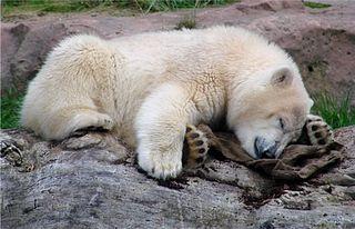 Eisbär  - Eisbär, Jungtier, Säugetier, müde, schlafen, Raubtier