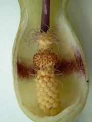 Aronstab Kesselfalle 1 - Aronstab, Arum, Aronstabgewächs, Araceae, Laubmischwald, krautige Pflanze, Geophyten, pfeilförmige Blattspreite, einhäusig, getrenntgeschlechtig, Kolben, Hochblatt, Giftpflanzen, Fliegenfalle, Kesselfalle