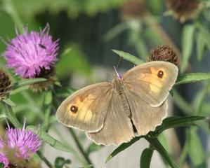 Großes Ochsenauge #1 - Maniola jurtinia, Schmetterling, Falter
