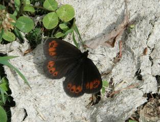 Mohrenfalter #1 - Schmetterling, Falter, Erebia ligea