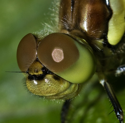 Facettenauge  - Insekten, Komplexauge, Facettenauge, Libelle, Einzelaugen