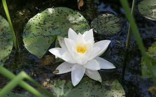 Geöffnete Blüte einer weißen Seerose - Seerose, weiß, Blüte, Gartenteich, Teich, Wasserpflanze, Schreibanlass