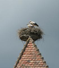 Storchennest  #1 - Storch, Nest, Brutstätte, Adebar, Turm, Vogel, Schreitvogel, Zugvogel, Weißstorch, Jungvogel