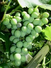 Weinrebe, unreif - Wein, Weinrebe, Traube, grün, unreif, Weinlese, Herbst