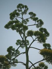 Agavenblüte - Agave, Blüte, Pflanze, Jahrhundertpflanze, Pflanzenfaser, Agavengewächs, Spargelartig, Saftgewinnung, Mediterran