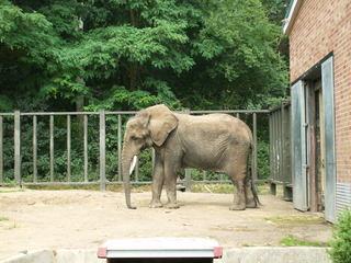 Elefant - Elefant, Dickhäuter, Beine, Rüssel, Afrika, Stoßzähne, Elfenbein