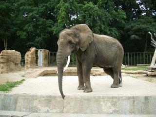 Elefant - Elefant, Dickhäuter, Zootier, Rüssel, groß, schwer, Ohren, Elfenbein, Stoßzähne, gehen