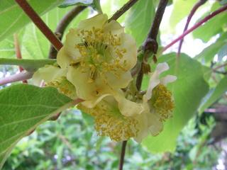 Blüte einer Kiwipflanze - Blütenblätter, Staubblätter, zweihäusige Pflanze, männliche Pflanze, Kletterpflanze, Obst