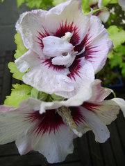 Blüte des Gartenhibiskus - Blüte, rot-weiß, Strauch, Garten, Stundenblume, Malvengewächs, Eibisch