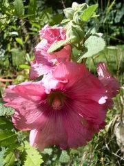 Blüte der Stockrose - Stockrose, Stockmalve, Staude, Bauerngarten, Heilpflanze, Malvengewächs, Staubblätter, Stempel