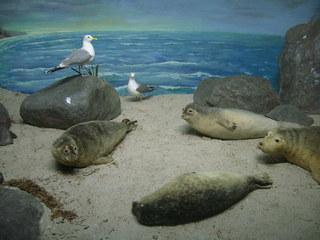 Robben - Möwen, Robben, Flossenfüßer, Wasser-Raubtiere, Säugetier, Fleischfresser, Wasser, Landschaft, Präparate
