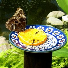 Schmetterling bei der Nahrungsaufnahme - Schmetterling, Insekt, Futter, Teller, Tropen, geschützt, Flügel, Orangen, fliegen, fressen