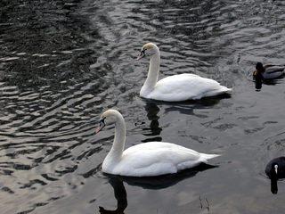 Schwäne - Schwan, Schwäne, Wasser, schwimmen, Wasservogel, Höckerschwan