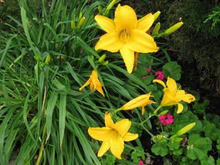 Taglilie - Hemerocallis - Taglilie, Hemerocallis, Liliopsida, Einkeimblättrige, Horst, Tagliliengewächs, Ordnung der Asparagales, mehrjährige Staude, gelb