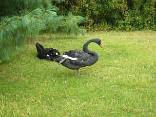 Trauerschwan - Schwimmvogel, Schwan, Federn, schwarz, Füße, strecken