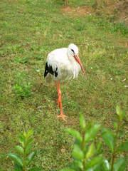 Storch - Zugvogel, Storch, Federn, weiß, schwarz, Schnabel, klappern, Wiese, schreiten, gehen