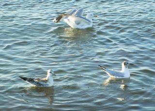 Möwen an der Ostsee - Möwe, Vögel, Jungvogel, Wasser, Ostsee, schwimmen, Federn, weiß, grau