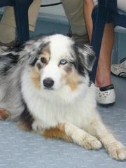 Australischer Schäferhund #1 - Schäferhund, Hündin, reinrassig, Nutztier, Herdenhund