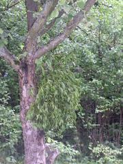 Apfelbaum mit Mistel - Apfelbaum, Klarapfel, Mistel, Schmarotzerpflanze, Obstbaum, Sandelholzgewächs, symbolisch, Mythologie, Heilpflanze