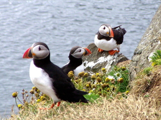 Papageientaucher - Papageientaucher, Seevögel, Zugvogel, Alkenvogel, Island, Iceland, drei, Vogel